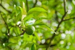 Einsame Zitrusfrucht Lizenzfreies Stockbild
