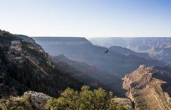 Einsamer Adler, der über Grand Canyon, Arizona, USA fliegt Lizenzfreie Stockfotografie