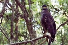 Einsamer Adler, der Kameramann im Dschungel betrachtet Lizenzfreies Stockfoto