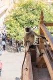 Einsamer Affe in Amer Fort Stockfotos