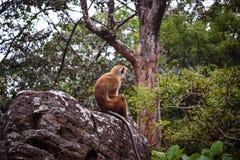 Einsamer Affe Ceylon-Makaken auf dem Felsen Lizenzfreies Stockfoto
