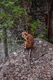 Einsamer Affe Ceylon-Makaken auf dem Felsen Lizenzfreie Stockbilder