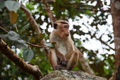 Einsamer Affe Ceylon-Makaken auf dem Felsen Lizenzfreies Stockbild