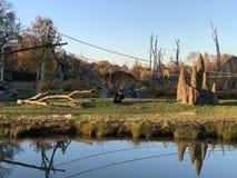 Einsamer Affe, der durch Wasser im Park sitzt stockfotografie