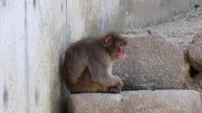 einsamer Affe Macaca fuscata oder japanischer Makaken entspannend stock video
