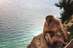 Einsamer Affe sitzt am Felsen von Gibraltar und schaut vorwärts Lizenzfreies Stockfoto