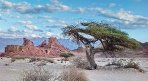 Einsamer Akazienbaum im geologischen Park Timna, Israel Lizenzfreies Stockfoto