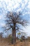 Einsamer alter Baobabbaum Stockfoto