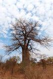 Einsamer alter Baobabbaum Lizenzfreie Stockbilder