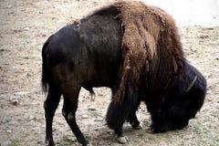 Einsamer amerikanischer Bison stock video