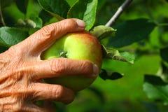 Einsamer Apfel Stockfotografie