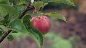 Einsamer Apfel an einem regnerischen Tag stock video