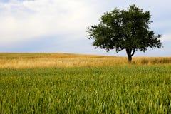 Einsamer Apfelbaum lizenzfreies stockbild