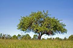 Einsamer Apfelbaum Stockbild