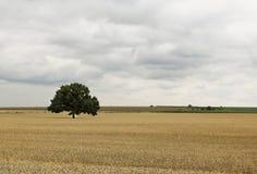 Einsamer Baum auf dem Gebiet vor Sturm Lizenzfreies Stockbild