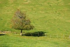 Einsamer Baum auf dem grünen Feld Stockfoto