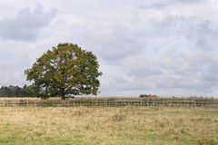 Einsamer Baum auf dem Mais-Gebiet Stockfotos