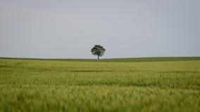 einsamer Baum auf dem Weizengebiet Lizenzfreie Stockfotos