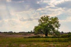 Einsamer Baum auf einem Gebiet Stockfotos