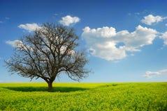 Einsamer Baum auf einem gelben Gebiet, Morgen Stockfotografie