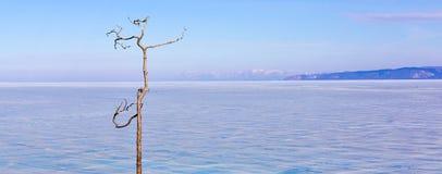 Einsamer Baum auf einem Hintergrund vom Baikalsee im Winter Olkhon Insel Eis Stockbild