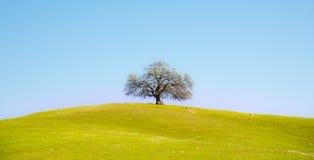 Einsamer Baum auf grünem Hügel Stockbild