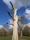 Einsamer Baum am Burggrabenpark, Maidstone, Kent, Medway, BRITISCHES Vereinigtes Königreich stockbild