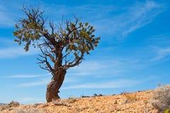Einsamer Baum, der den Himmel gegenüberstellt Stockbild