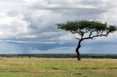 Einsamer Baum der Klasse Akazie in der Savanne Stockbilder