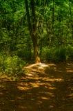 einsamer Baum, der nahe bei einem Waldweg steht Stockfoto