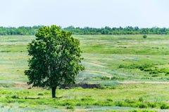 Einsamer Baum in der schönen Landschaft der Sommersteppe Stockfoto
