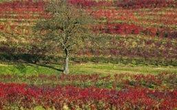 Einsamer Baum in einem Weinberg Stockbilder