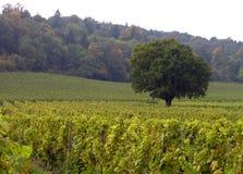 Einsamer Baum in einem Weinberg Stockbild
