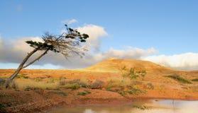 Einsamer Baum; Lanzarote, Canaries Stockfotos