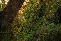 Einsamer Baum mit grünem Reisfeld Stockfoto
