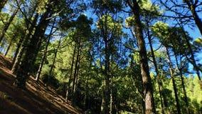 Einsamer Baum mit Kiefern stock video footage