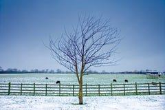 Einsamer Baum nahe bei einem winterlichen Feld mit schwarzen Schafen Stockfoto