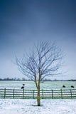 Einsamer Baum nahe bei einem winterlichen Feld mit schwarzen Schafen Stockbild