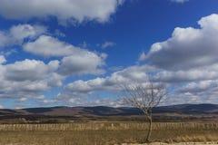 Einsamer Baum nahe den Weinbergen im Vorfrühling Stockbild