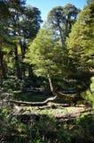 Einsamer Baum in Reserva EL Cani, nahe Pucon, Chile Lizenzfreie Stockfotos