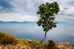 Einsamer Baum und adriatisches Meer im Hintergrund, Dalmatien Stockbild