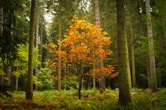 Einsamer Baum Windsor Stockfotografie