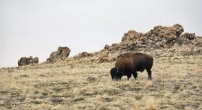 Einsamer Bison Lizenzfreie Stockfotos