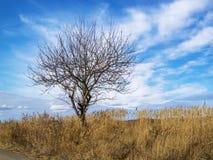 Einsamer bloßer Winterbaum unter trockenem hohem Gras Stockfotos