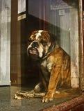 Einsamer Bull-Hund in einem Fenster Stockfotos