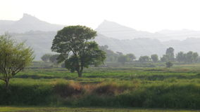 Einsamer Dhrek-Baum Lizenzfreie Stockfotos