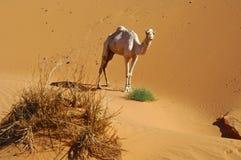 Einsamer Dromedary in der Wüste lizenzfreie stockbilder