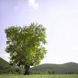 Einsamer Eichenbaum Stockfotografie