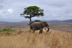 Einsamer Elefant stockbild