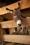 Einsamer Esel, der aus seinem Stift heraus schaut Lizenzfreie Stockfotos
